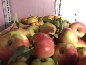 Apples and Asian pears gleaned from Lopez Island orchards
